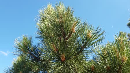 andaime : The Beautiful branches of Mediterranean pine Stock Footage