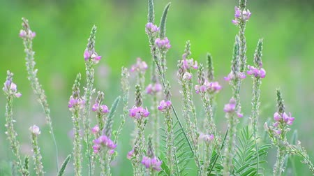 вереск : Beautiful wild heather closeup a shot