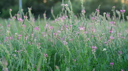 pink flowers : Beautiful wild heather in the meadow