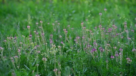 опылять : Beautiful wild field grass with pink flowers
