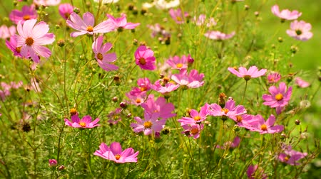 florescência : The Beautiful large pink daisies outdoors Vídeos