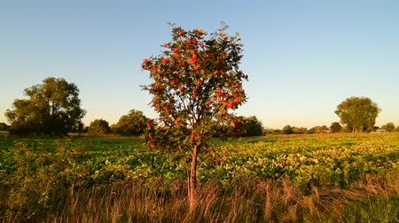 üvez ağacı : Sunset rural landscape with a rowan tree