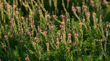 опылять : The Beautiful wild heather closeup a shot. Sunset