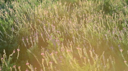 вереск : The Beautiful wild heather closeup a shot. Sunset
