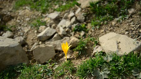 Yellow crocus flower in mountain