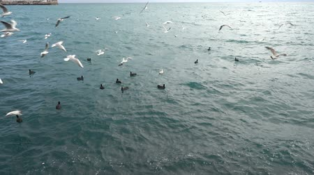 Feeding seabirds. Flock of seagulls flying Vídeos