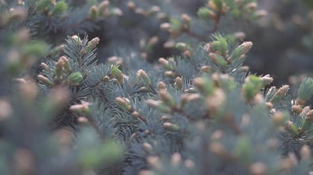 bumps : Slide focus on fir tree branches