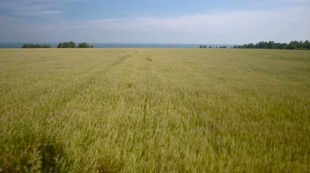 pszenica : Aerial Overflight of a yellow wheat field. Blue sea Wideo