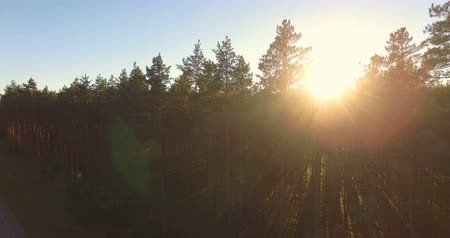 tre : Aerial view of sunlight over trees in a pine forest.
