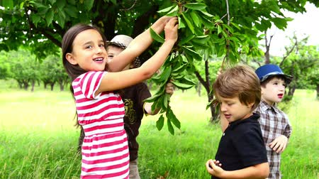 sağlıklı beslenme : Four children eating cherries in a orchard