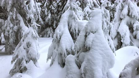 Snowy trees, in mountain forest, winter time