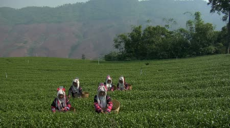 hill tribe : Akha hill tribe women picking tea at Doi Mae Salong in north Thailand.