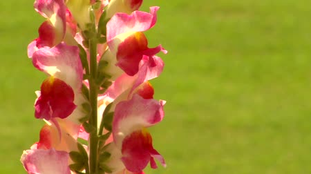foxglove : Stems of pink and white fox glove flowers against a green grass lawn Stock Footage