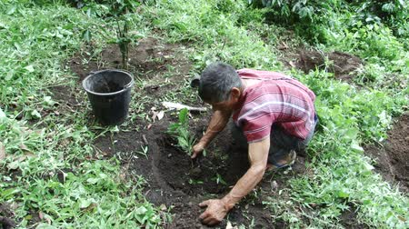 кофе : Karen farmer planting coffee