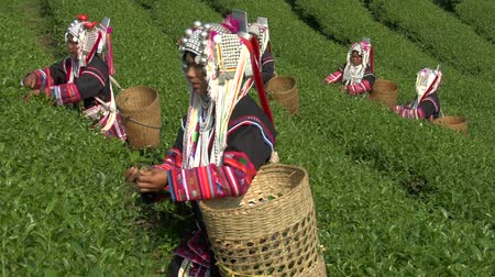 hill tribe : Akha hill tribe women picking tea at Doi Mae Salong in north Thailand Stock Footage