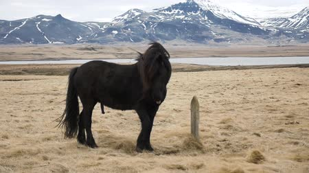 plain : The Icelandic horse
