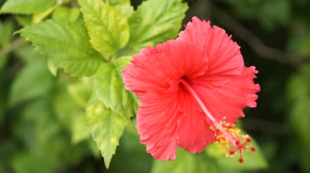 trumpet : Tropical flower, Hibiscus, other names Sorrel, Flor de Jamaica, Rosemallow. Stock Footage
