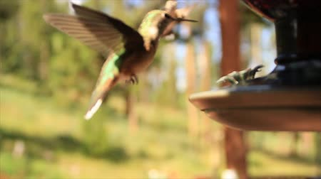 High speed slow motion of hummingbird in flight and using tongue in feeder