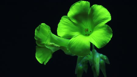 Bright Green Flower time lapse