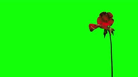 Red flower growing time lapse green screen Stock Footage