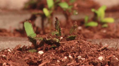 хрупкость : Plant emerging from soil Стоковые видеозаписи