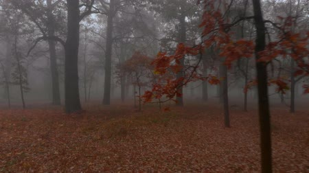 pantanal : Camera flies between brown autumn trees in mystical foggy autumn park, Ukraine Stock Footage