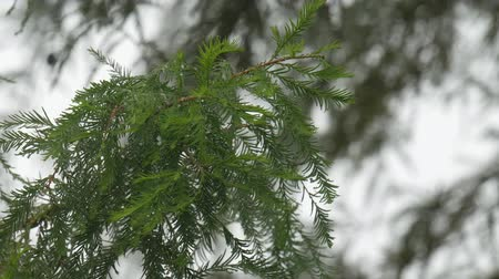 spiky : Pine tree leaves wet with dewdrops after the rain, with bokeh in the background Stock Footage