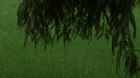 ormanda yaşayan : Dark footage of wet pine tree leaves in the rain, with blurred wet green grass in the background