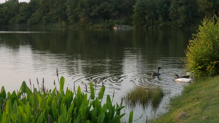 wavelets : Lakeside scene with ducks swimming in the corner, partly covered by tall plants Stock Footage