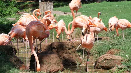 flamingi : Steady shot of American flamingos standing in the grass while others are drinking water from a pond