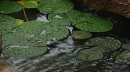 harmatcsepp : Steady medium shot of lotus or water lily leaves in a small pond wet with dewdrops from the rain and from a fountain