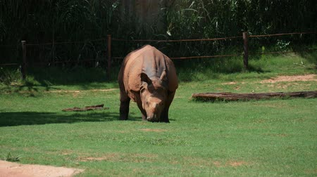 Close up shot of an adult Indian rhinoceros eating grass green grass in a zoo