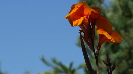 Close up shot of bright orange flowers waving in the wind in a garden, wind blurred leaves in the background