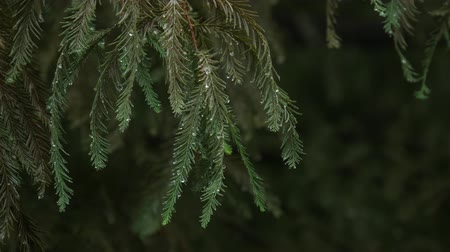 Steady shot of pine tree leaves drenched in the rain, with dark background