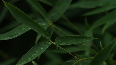 Raindrops falling on bamboo tree leaves that are gently swaying in the wind