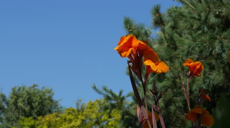 Wide shot of bright orange flowers waving in the wind in a garden Wideo