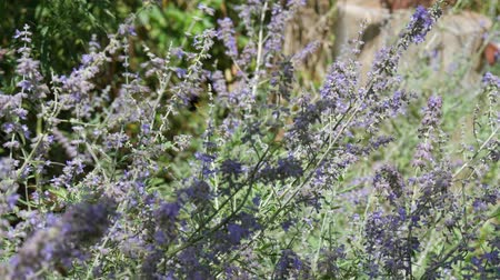 Steady shot of lavender flowers swaying in the breeze, with honeybees flitting among the flowers sipping nectar