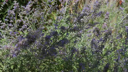 canteiro de flores : Lavender flowers swaying in the wind, with bees flitting in among the flowers