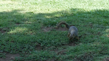 squirrel fur : Steady shot of small gray squirrel finding food in the grass then sitting and eating Stock Footage