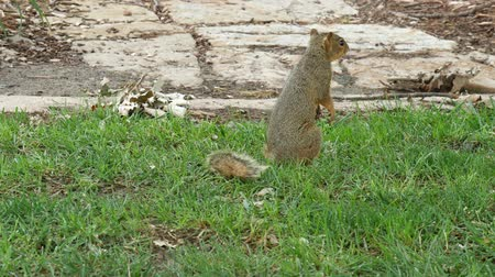 секунды : A squirrel making a sudden turn, sits up for a few seconds then darts off so fast Стоковые видеозаписи