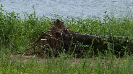 shaking wind : Bushes and green grass fluttering in the breeze with an uprooted log along the banks of a lake Stock Footage
