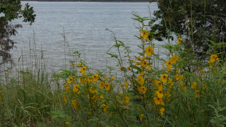à beira do lago : Close up shot of beautiful small yellow white flowers at the bank of the lake