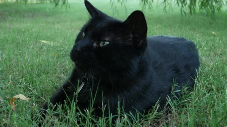 inkijk : Close up footage of a big black cat lying on the green grass Stockvideo