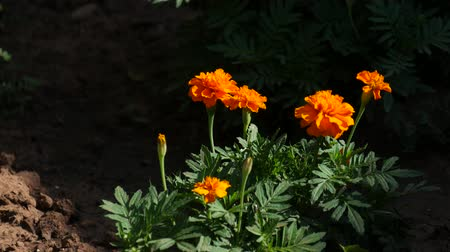 brisa : Bright orange flowers swaying gently in the breeze, with dark background Stock Footage
