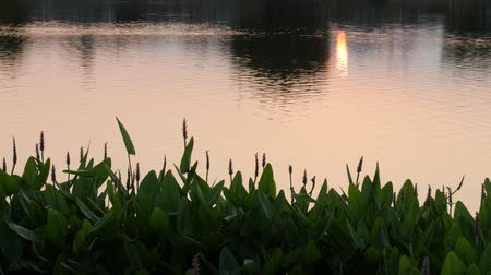 à beira do lago : Silhouettes of green plants by the lakeside at sunset