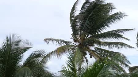 Close up steady shot of coconut tree tops swaying in the breeze, with sounds
