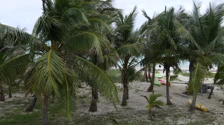 Steady shot of coconut trees with leaves swaying in the wind by the beach Стоковые видеозаписи