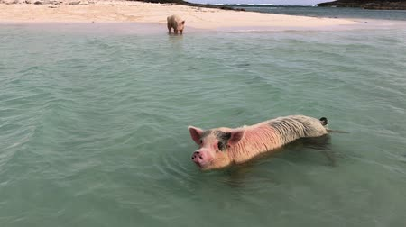 águas : Handheld shot of a pig swimming in the waters of the Bahamas Vídeos