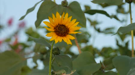 Single blooming sunflower waving in the breeze, close up with blurred green leaves in the background Стоковые видеозаписи