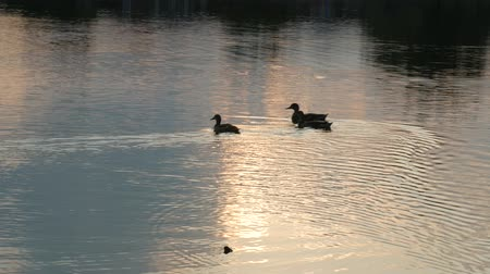 wavelets : Three ducks swimming in the pond at sunset